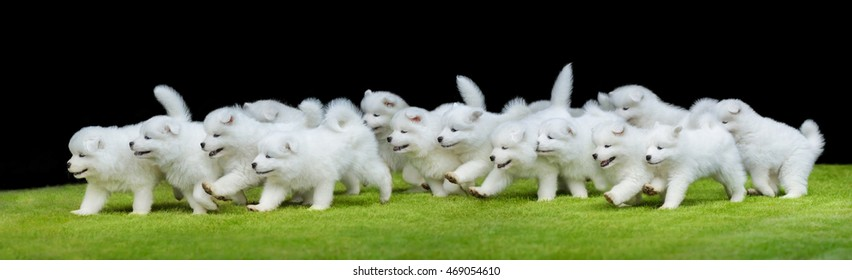 Many puppies of Samoyed dog running on green grass. Black background.