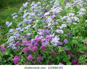 Many purle flowers
