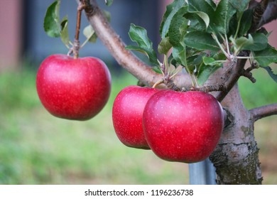 Many red apples growing on the apple organic farm at Aomori Province, Japan.