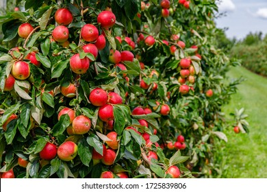 Many red apples on tree ready to be harvested.