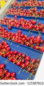 Many red cherries on conveyor belt.