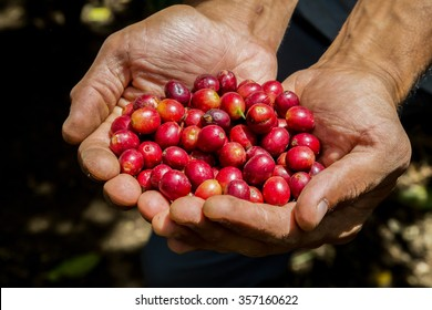 many red coffee cherries in the hands