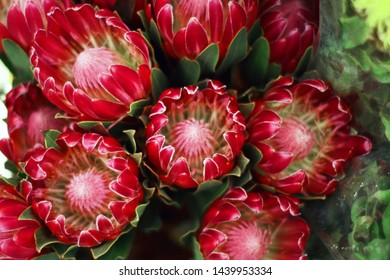 many red exotic flower protea for background or flower shop and site