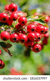 Many Red fruits of Crataegus monogyna, known as  hawthorn or single-seeded hawthorn ( may, mayblossom, maythorn, quickthorn, whitethorn, motherdie, haw ) berries.