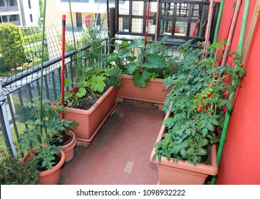 Many red ripe tomatoes Cherry type grown in pots on the terrace in the house of a condominium