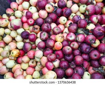 Many Red and Yellow Apples in a Big Wooden Bin Outside at a Farm