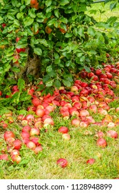 Many ripe apples fallen to the ground by apple tree in a pick-your-own orchard, for themes of harvest, autumn, agritourism