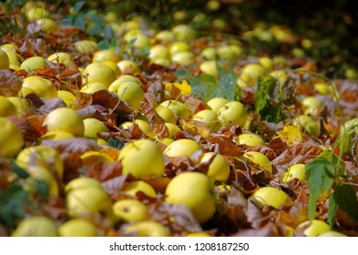 Many ripe apples fallen to the ground.