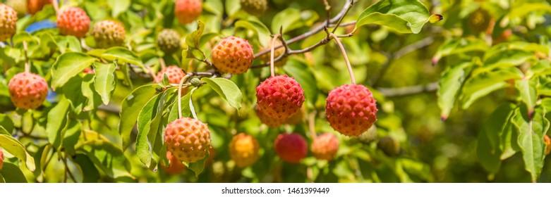 Many ripe berries of Cornus dogwood in garden. Red fruits of Cornus dogwood var. Porlock, banner.