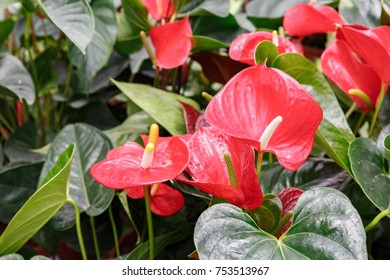 Many ripe red anthuriums with green leaves