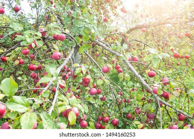 many ripe red apples on a branch of apple tree