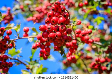 Many ripe Red berries in autumn garden. Red fruit of Crataegus monogyna, known as  hawthorn or single-seeded hawthorn ( may, mayblossom, maythorn, quickthorn, whitethorn, motherdie, haw )