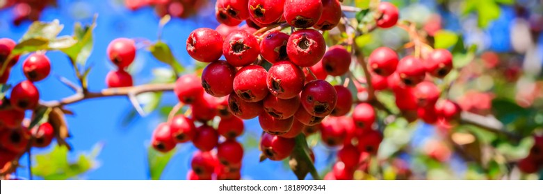 Many ripe Red berries in autumn garden. Red fruit of Crataegus monogyna, known as  hawthorn or single-seeded hawthorn ( may, mayblossom, maythorn, quickthorn, whitethorn, motherdie, haw ) , banner