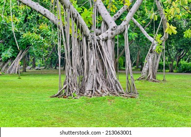 many root of banyan tree in the park