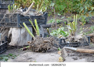 Many roots of dahlias without land. There are old rakes on the ground. Digging up Dahlia flowers. The tubers are in black plastic boxes. The planting material is dried in the sun and removed.