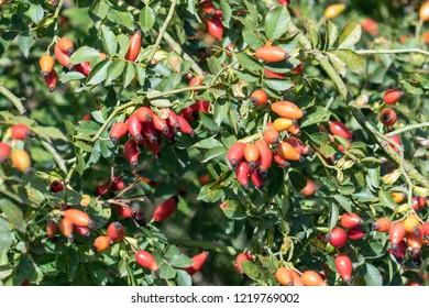 many rosehips on the bush