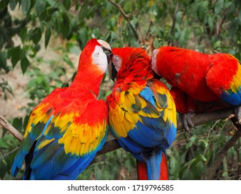 Many Scarlet Macaws Preening Forest