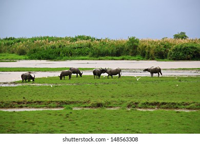 Many Sea Buffalos eating grass in Talay Noi is a river basin at the topmost of Songkla Lake.  Phatthalung Province, Thailand.