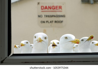 Many seagulls looking in through a window, with a 'no trespassing' sign in the background, in Dartmouth, Devon.