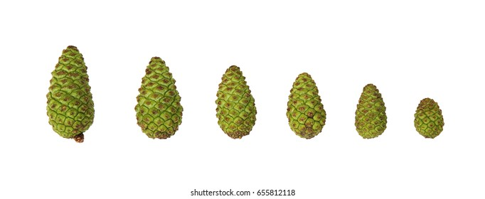 Many sizes of Green pine cones,  isolated on white  background, with clipping path