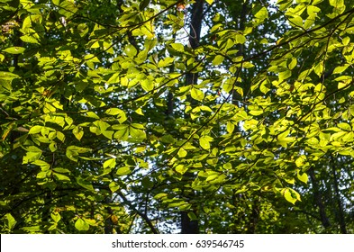 Many slippery elm tree leaves in sunlight with yellow green tint