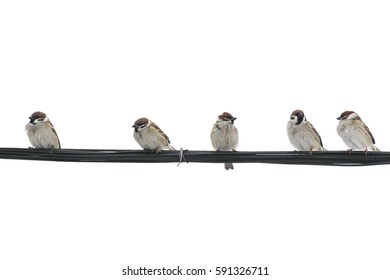 many small birds Sparrow sitting on wires against a white isolated