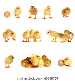 Many small chicks isolated on white background