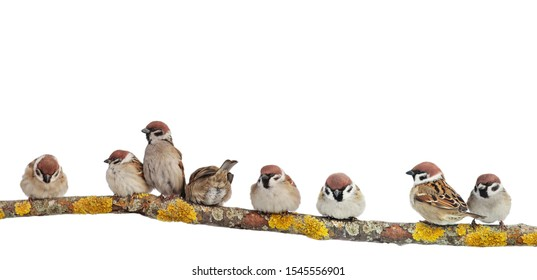 many small funny birds sparrows are sitting on a branch on a white isolated background