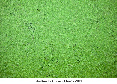 many small green leaves of an aquatic plant on the surface of water, background, texture