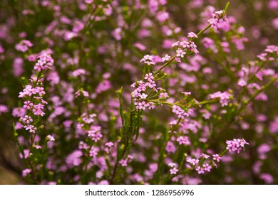 many small pink flowers coleonema pulchellum on the field or the flowerbed