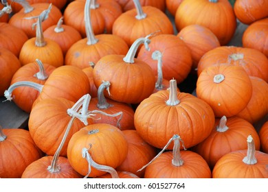 Many small pumpkins at the pumpkin patch