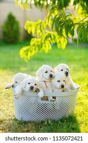 many small puppies of brothers and sisters are sitting in a basket in the summer in the middle of the lawn