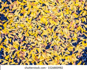 Many small yellow leaves from a thornless honey locust tree (binomial name: Gleditsia triacanthos f. inermis) blown together on asphalt pavement of a suburban parking lot in autumn