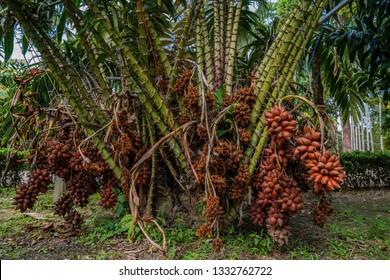 Many snake fruits on salak palm. Ripe salak fruit on snake fruit tree.