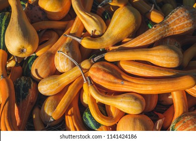 Many Spoon gourds lying on the ground under the bright sun. Orange elongated striped pumpkins in farm during harvest season. Pumpkins harvested and collected in the garden. Filled frame picture.