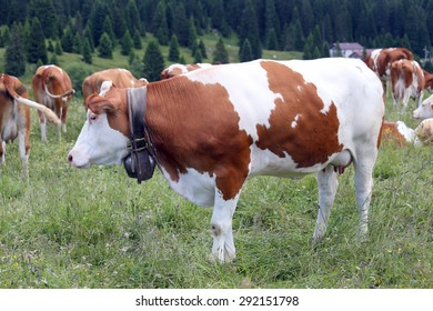 many spotted cows grazing on the lawn in the mountains