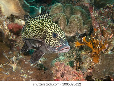 Many spotted sweetlips or  harlequin sweetlips (  Plectorhinchus chaetodonoides ) at cleaning station of Bali