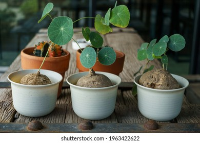 Many Stephanie erecta planted in white plastic pots and placed on a wooden table. Stephanie erecta is a herbaceous plant with a head underground Popular people to grow as a house decoration.