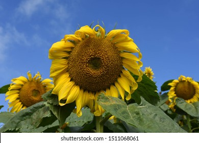 Many sunflowers are facing the wide angle sun.