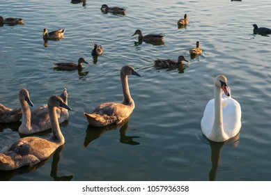 Many swans in the lake. a flock of swans scrambling over food on a river. In the lake swans Swan parents and their children are cockerels. Swans feed in place with ducks.