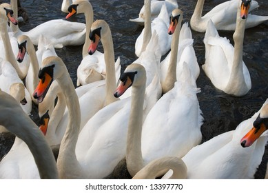 many swans on a lake waiting to be fed