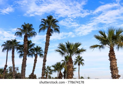 Many tall palm trees under Cyprus blue sky with few fluffy clouds.