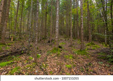 Many tall trees growing in forest with green moss covering on tree bark and forest floor, Autumn in Europe.
