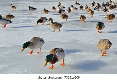 Many tame mallards are walking on the ice of the frozen lake in winter.