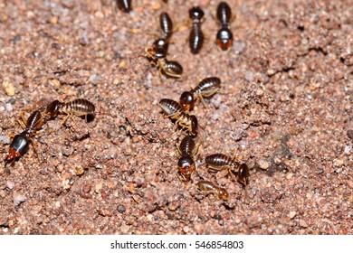 Many termite on ground