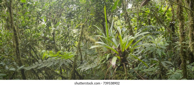 Many terrestrial bromeliads growing in montane rainforest with mossy tree trunks in the  Cordillera del Condor, a site of high biodiversity and endemism in southern Ecuador.