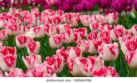 Many tulips in white and pink colors with fringe. Tulip festival in Nikita Botanical garden in Yalta.