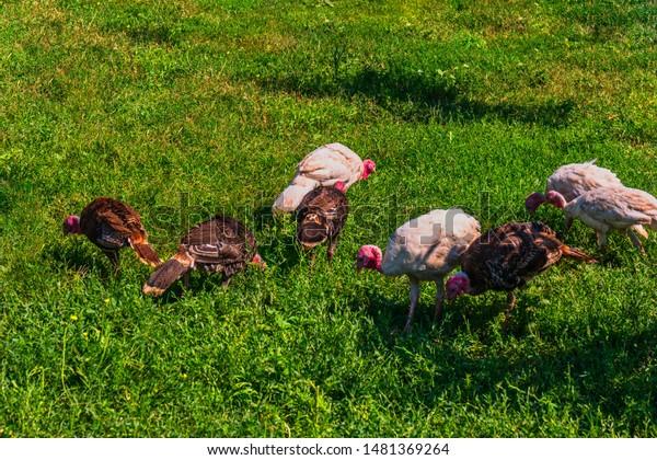 many-turkeys-on-grass-breeding-600w-1481