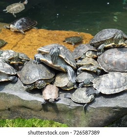 many turtles in pond. wildlife animals.