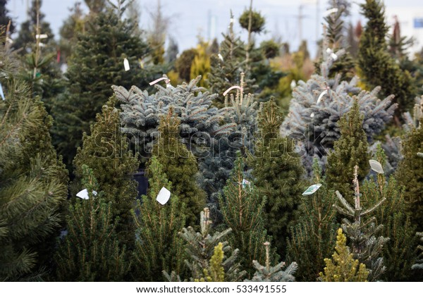 Christmas Trees For Sale.Many Types Christmas Trees Sale Stock Photo Edit Now 533491555